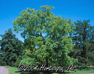 Hillis Nursery Co Black Walnut Juglans Nigra