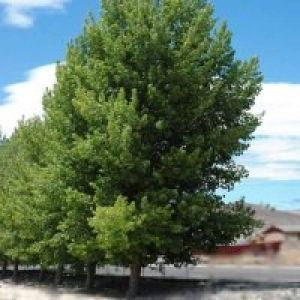 hybrid poplar planting instructions